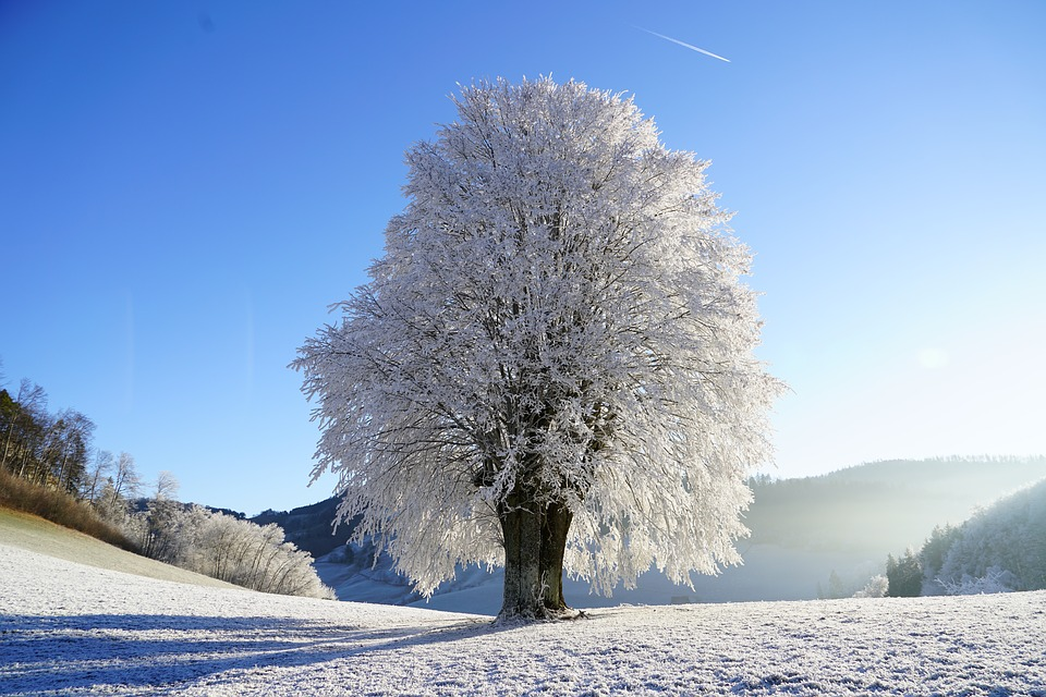 Snow-covered oak tree in between two hills, with sunny blue sky.